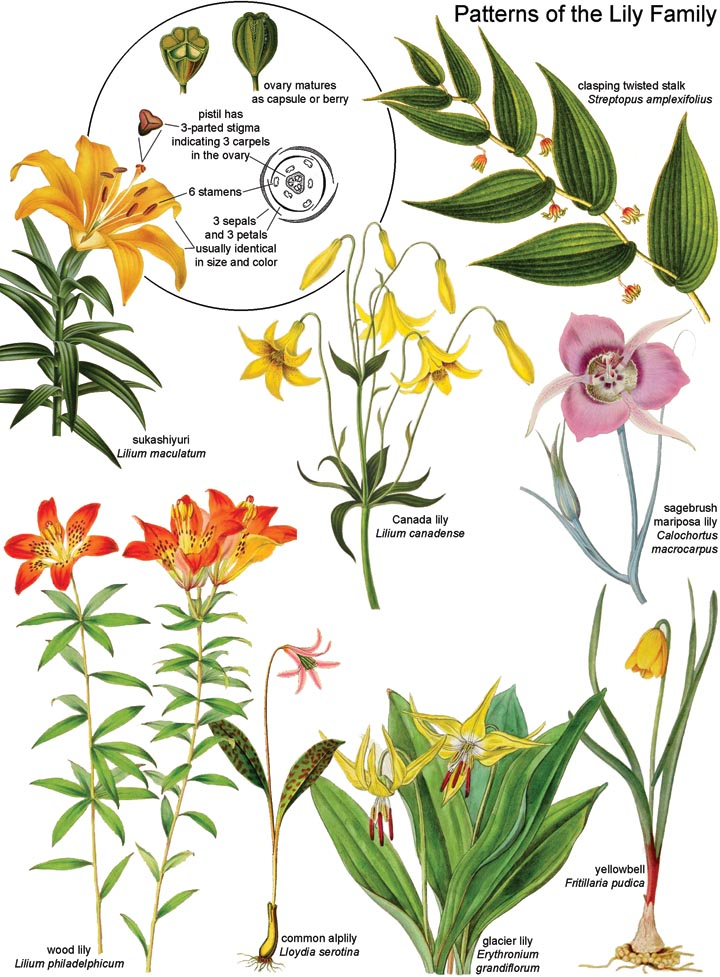 Botany In A Day Apg The Patterns Method Of Plant Identification